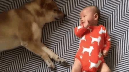 熟睡的柴犬被小主人打了一拳, 下一秒它的表现太暖心了