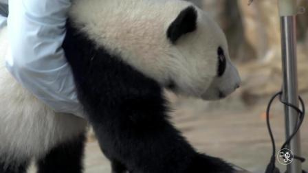 【熊猫】当熊猫饲养员是一种怎样的体验?