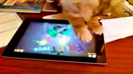 看看别人家的猫是怎么玩游戏的! 这水果忍者比我玩的6