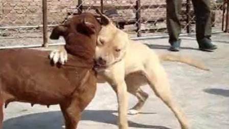 河北涉县巨型比特斗狗 打斗现场凶猛激烈