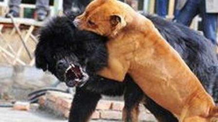 凶残的斗狗 血肉模糊 比特犬和藏獒谁更厉害 其实它们也挺可怜的