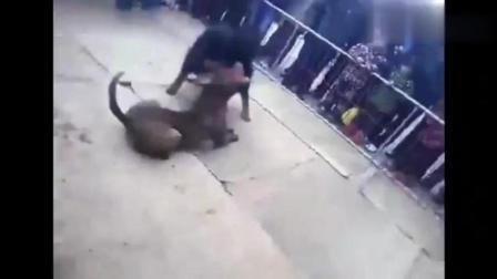 最精彩的斗狗: 纯种藏獒PK比特犬, 是否还能保持不败传说?