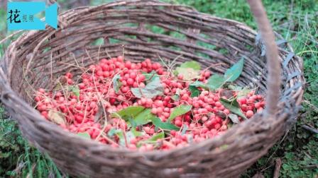 农村树上的一宝, 便宜实用, 秋季容易犯鼻炎、咳喘的人有福了!