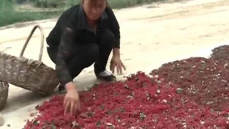 她种六十棵花椒树, 养残疾丈夫并供两娃上学