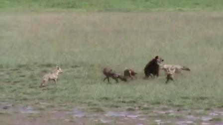 非洲斑鬣狗大战野狗最揪心的一幕, 身旁家人无能为力