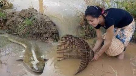 柬埔寨巧媳妇用传统方法抓鱼, 结果抓获了一只大鱼
