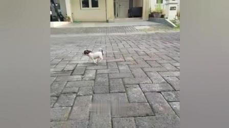 巴掌大的小狗走路一跳一跳的, 老夫的少女心都萌