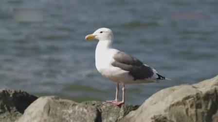 海鸥偷走游客的运动相机 拍下罕见的画面