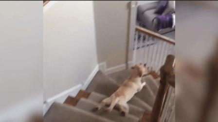 它这样下楼梯, 蛋蛋不会痛吗?