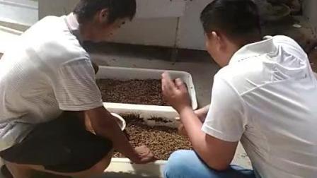 黑水虻养殖技术  培训学习 回收