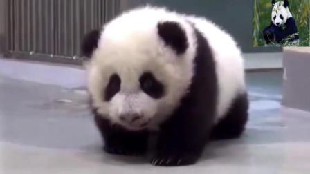 这些熊猫宝贝呆萌可爱, 让你爱不释手