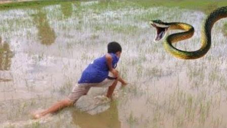 胆子真大! 看看农村熊孩子是如何在水田征服这条凶猛的巨蛇