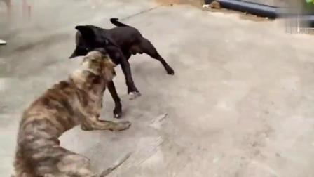 民间斗狗比赛第二轮: 花斑狗PK比特犬, 这才叫速战速决