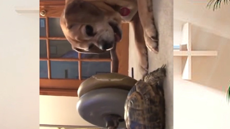 小狗耍乌龟结果