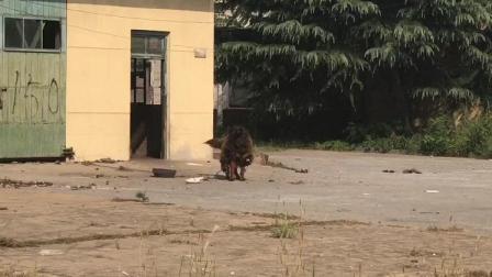 """30秒丨抓狗逮鹅! 济南打击""""老赖""""现场一度鹅飞狗跳……"""