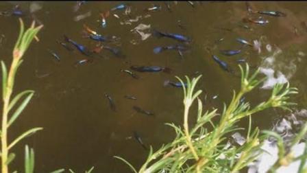 老挝院子竟有一群闪闪发光的七彩鱼, 涨见识了