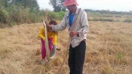 小哥带着媳妇去土坡设陷阱捕蛇, 结果搞到一条40斤的大蟒蛇