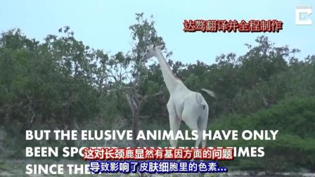 偶然拍到的珍稀白色长颈鹿视频