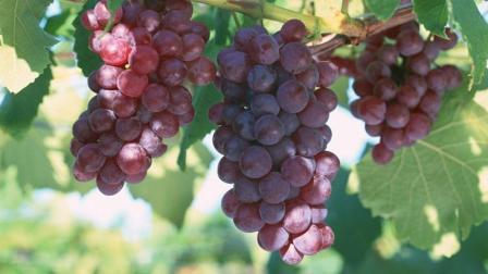 爱吃葡萄的注意! 葡萄最有价值的部位竟然是这里! 90%的人都吃错了