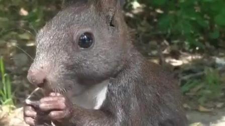 松鼠宝宝特别爱吃饼干, 而且还不惧镜头