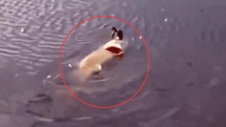 大鸟本想抓鱼吃, 怎料却被大鱼给吃了, 小伙拍下全过程