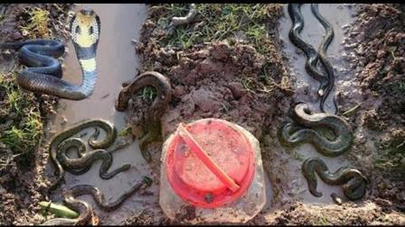 捕蛇有妙招, 农村俩小孩自制陷阱, 一个晚上被骗进了不少蛇