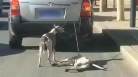 男子开车拖狗遭人肉 狗主人: 为比赛