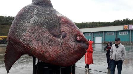 科学家哭了 俄渔民捕获罕见巨鱼搞死后被喂熊