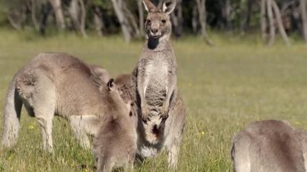 """袋鼠泛滥! 澳洲人只好把""""国宝""""端上桌做成美味"""