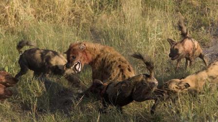 高清实拍, 鬣狗大战非洲水牛的精彩细节