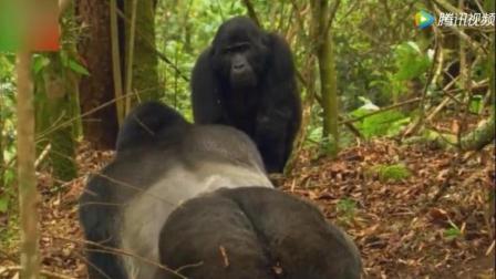 母猩猩向大猩猩首领求爱受挫, 略施小计达成所愿, 看来动物间的爱情也需要智慧啊!
