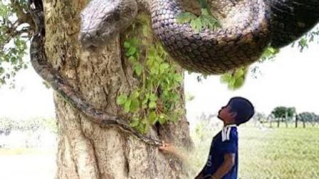 这个农村小孩不得了, 跑野外抓蛇, 结果真捉到好大一条蟒蛇