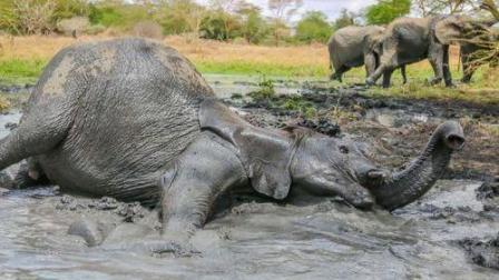大象对战犀牛, 愤怒的大象操起象鼻就甩