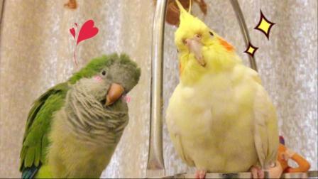 揪是这只鸟纯日常——主人! 请帮我挠挠头!