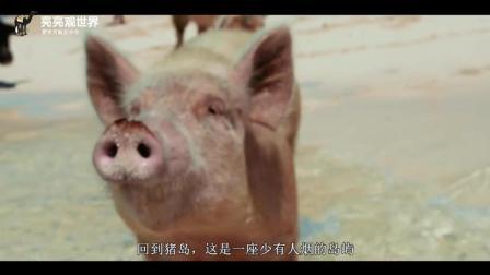 网红猪到处都是, 世界上唯一的猪岛, 令人羡慕嫉妒恨