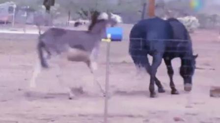 母马血统纯正, 公驴身材娇小, 公驴却在求偶母马, 够不到