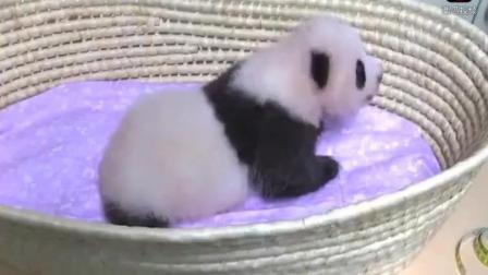 刚出生的熊猫宝宝, 萌翻老外的叫声, 你一定没听过