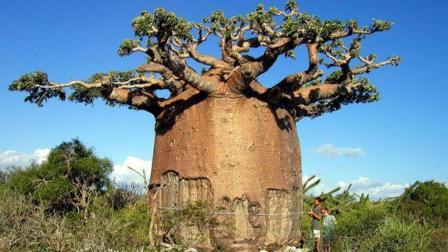 非洲猴面包树你见过吗? 一棵树结的果实能养活两个人!