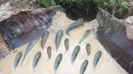 农村人自制陷阱抓鱼, 安装一次陷阱, 终身保收, 值得借鉴