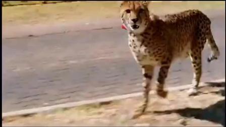 小男孩去学校, 小豹子跟着去了, 看见男孩被欺负小豹来帮忙好有爱
