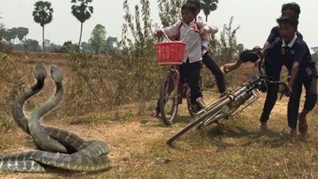勇敢的农村男孩沿着大路捉巨蟒, 结果捉到后却选择放生了