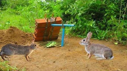柬埔寨民间制作的兔子陷阱, 还真能轻松捕兔子, 好肥大的一只啊!