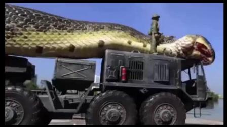 需要用大货车才能运走的大蟒蛇, 你猜有多少吨?