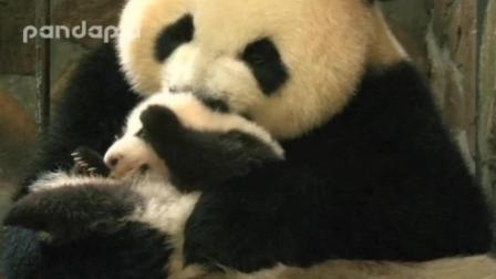 文莉抱着肉肉把玩, 熊猫幼崽什么味? 妈咪口水味!