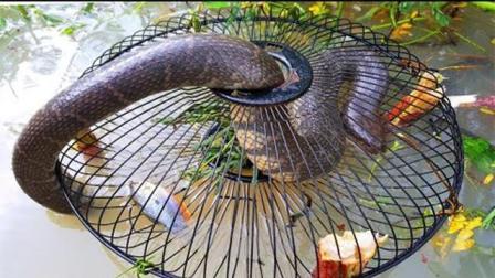 捕蛇小高手, 柬埔寨女孩用大风扇做陷阱, 抓获一条大蛇