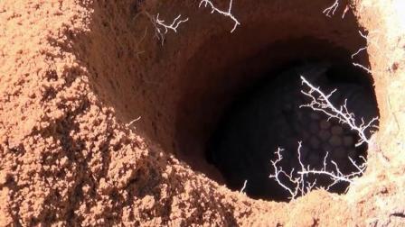 实拍穿山甲祖传下来的挖洞绝技, 洞穴当家, 舒适安全又防身