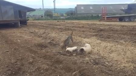 狗鼠大战! 米老鼠惨败! !
