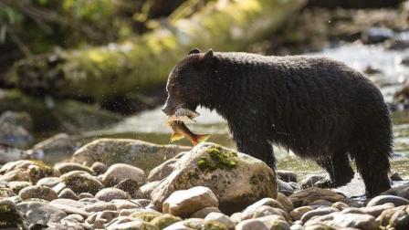 黑熊在河边捕鱼, 没想到遇到梅花鹿, 把鱼丢了去猎杀鹿