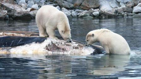 北极熊拖家带口捕食, 意外收获一条搁浅的鲸鱼