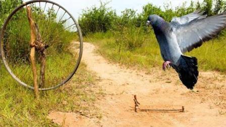 大神教你如何在户外制作捕捉鸽子的陷阱, 那简直就是神器!